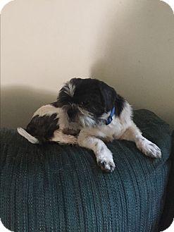 Shih Tzu Dog for adoption in Hampton, Virginia - Reagon