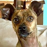 Adopt A Pet :: Bam Bam - Fort Lauderdale, FL