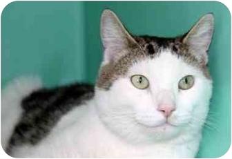 Domestic Shorthair Cat for adoption in Phoenix, Oregon - Drake