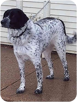 Pointer/Cattle Dog Mix Dog for adoption in Owatonna, Minnesota - Cooper
