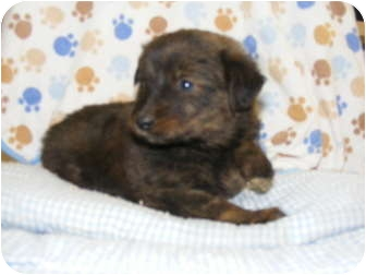 German Shepherd Dog Mix Puppy for adoption in Rochester, New Hampshire - Lala