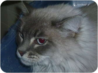Domestic Longhair Cat for adoption in Chandler, Arizona - Cali