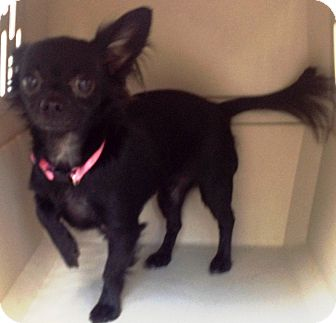Chihuahua Mix Dog for adoption in Mary Esther, Florida - Sissy