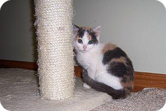 Domestic Shorthair Kitten for adoption in Cincinnati, Ohio - Bacall