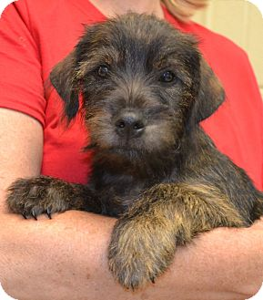 Schnauzer (Miniature) Mix Puppy for adoption in Scranton, Pennsylvania - Rascal