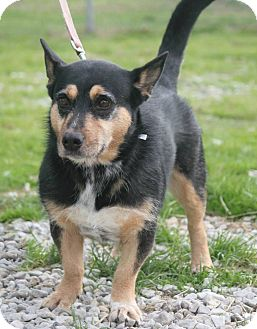 Australian Kelpie Dog for adoption in Henderson, Kentucky - Roxie