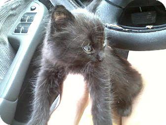 Domestic Mediumhair Kitten for adoption in Gainesville, Florida - Nico