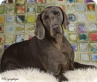 Weimaraner Dog for adoption in Las Vegas, Nevada - Thor