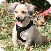 Cocker Spaniel/Poodle (Toy or Tea Cup) Mix Dog for adoption in Austin, Texas - Libby