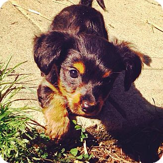 Dachshund Mix Puppy for adoption in Charlotte, North Carolina - Rose