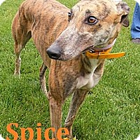 Adopt A Pet :: Spice - Fremont, OH