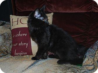 Domestic Mediumhair Kitten for adoption in St. Louis, Missouri - Viola