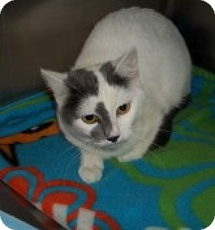 Russian Blue Cat for adoption in Silver City, New Mexico - Gracie