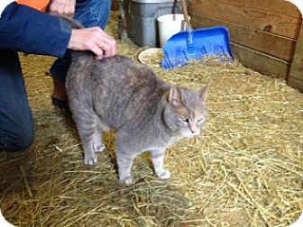 Domestic Shorthair Cat for adoption in Carlisle, Pennsylvania - Jewel (CP)