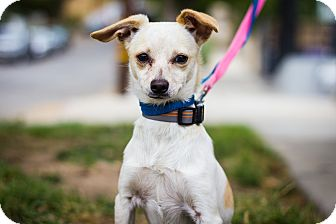 Chihuahua Mix Puppy for adoption in Los Angeles, California - Clover