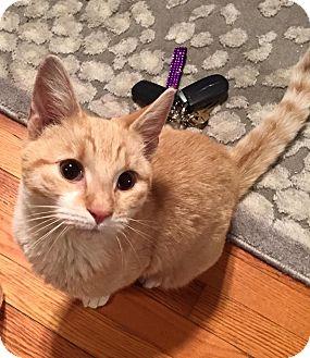 Domestic Shorthair Kitten for adoption in Long Beach, New York - Tommy Boy