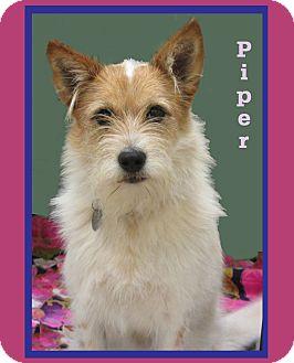 Schnauzer (Standard)/Australian Cattle Dog Mix Dog for adoption in Hillsboro, Texas - Piper