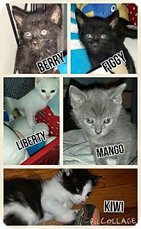 Domestic Mediumhair Kitten for adoption in Oxford, Connecticut - Fruit Litter