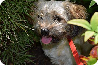 Lhasa Apso/Shih Tzu Mix Dog for adoption in Fishkill, New York - PINATA