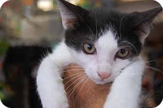 Domestic Shorthair Kitten for adoption in Brooklyn, New York - Subway