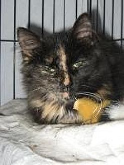 Domestic Mediumhair Cat for adoption in Brainardsville, New York - Carnie