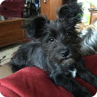 Yorkie, Yorkshire Terrier Mix Dog for adoption in Lancaster, Texas - Oreo