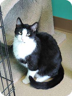 Domestic Shorthair Cat for adoption in Brookings, South Dakota - Kato