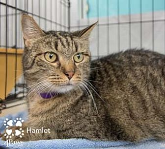 Domestic Shorthair Cat for adoption in Merrifield, Virginia - Hamlet