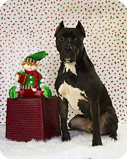 American Staffordshire Terrier Mix Dog for adoption in Baton Rouge, Louisiana - Rory