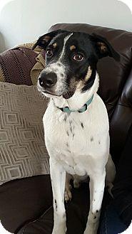 Labrador Retriever/Border Collie Mix Dog for adoption in Old Bridge, New Jersey - Baxter