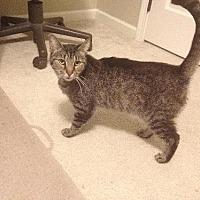 Domestic Shorthair Cat for adoption in Columbus, Ohio - Ariel
