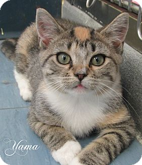 Domestic Shorthair Kitten for adoption in Jackson, New Jersey - Yama