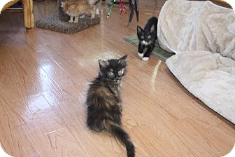 Domestic Longhair Kitten for adoption in St. Louis, Missouri - Gracie
