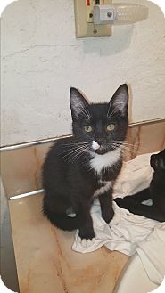 Domestic Shorthair Kitten for adoption in Tumwater, Washington - Ren