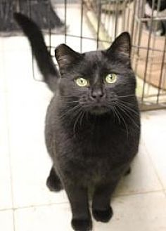 Domestic Shorthair Cat for adoption in Yukon, Oklahoma - Whiskers