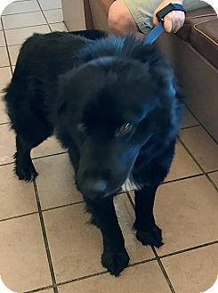 Australian Shepherd/Labrador Retriever Mix Dog for adoption in Las Vegas, Nevada - Moose