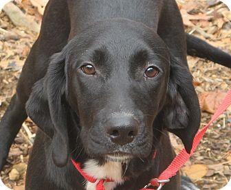 Labrador Retriever/Beagle Mix Puppy for adoption in Harrisonburg, Virginia - Apollo