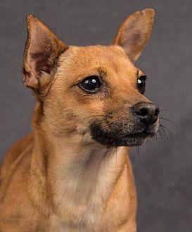 Terrier (Unknown Type, Medium)/Chihuahua Mix Dog for adoption in Davis, California - Canella