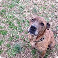 Adopt A Pet :: Chunk - Raleigh, NC