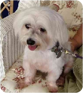 Maltese Dog for adoption in Conroe, Texas - Chester