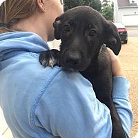 Adopt A Pet :: Roo - Puppy - Midlothian, VA