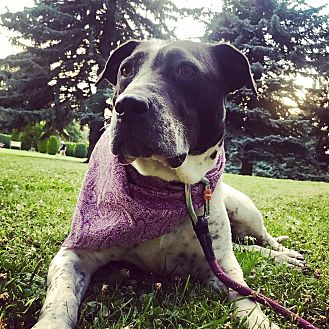 American Bulldog/Labrador Retriever Mix Dog for adoption in Spokane, Washington - Mugsy **Pending Adoption
