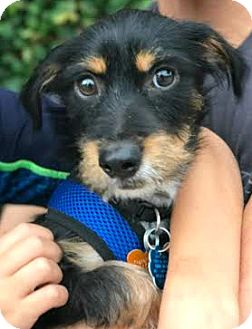 Dachshund/Cairn Terrier Mix Puppy for adoption in Boulder, Colorado - Banjo-ADOPTION PENDING