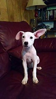 Chihuahua/Jack Russell Terrier Mix Puppy for adoption in Ashburn, Virginia - Sofia