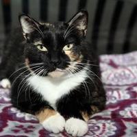 Adopt A Pet :: Talula - Mission, KS