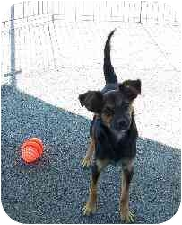 Chihuahua Mix Dog for adoption in Gallatin, Tennessee - Sandy