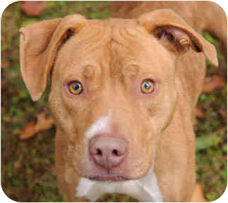 American Pit Bull Terrier Mix Dog for adoption in Chicago, Illinois - Delia