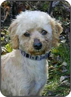 Poodle (Miniature)/Cocker Spaniel Mix Dog for adoption in Ladysmith, Wisconsin - Milo