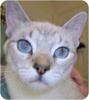 Siamese Cat for adoption in Olive Branch, Mississippi - Ice