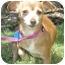 Photo 1 - Chihuahua/Dachshund Mix Dog for adoption in Carrollton, Texas - Amber